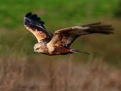 Y sus alas se tornan pesadas
