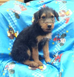 GUS: $1035, Male, Giant Airedale Terrier, 110+ lbs when grown, born on 3-5-17 to Gili and Buddy, 2 year health guarantee, care recommendations and guidance, vet exam, microchip, home raised