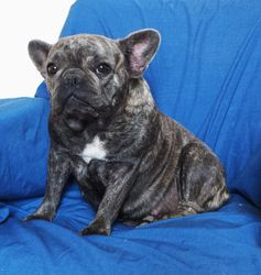AKC Blue Spice:  mother to 4-17-17 French Bulldog Litter