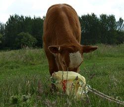 Cowbag!