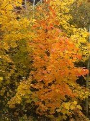 Beautiful FallTrees