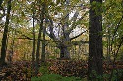 Oldest Oak Tree In Canada