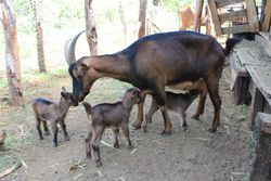 Dairy goat with three female kids