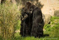 Gorilla Silberrücken