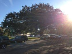 Large Oak Tree beside Mary Magdalen Church