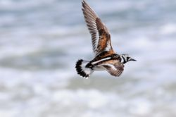 Tournepierre - Turnstone