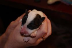 Jazzy black and white female-No 4  available!