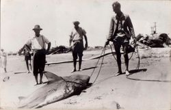 Shark fishing 1950s