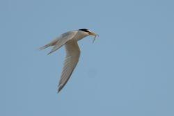Little Tern   STERNE NAINE