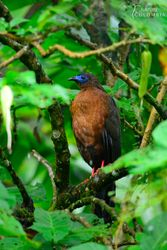 Sickle-winged guan after the rain