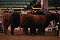 The final line-up for the 2nd Senior Heifer Class