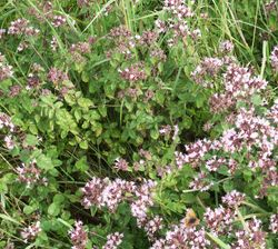 Marjoram (Mantsourana) for Peace and Happiness