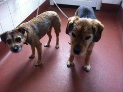 Buddy - Border Terrier x.   Buster - Terrier spaniel x