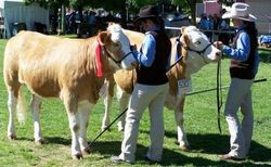 Junior heifer judging
