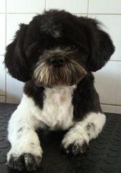 Benson - Shih Tzu . Grooming Day