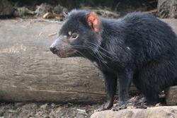 Tasmainian Devil in Tasmania