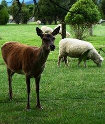 Deer and Sheep