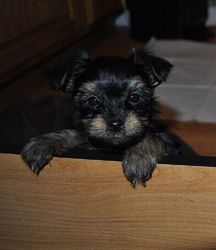 One of our Yorkie puppies at about 7 weeks