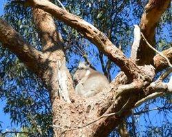 McLaren Vale Distillery- a koala bear in the tree