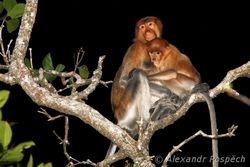 Proboscic monkey, Kahau nosatý (Nasalis larvatus), Mangroves