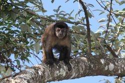 Macaco prego ( Cebus apella )