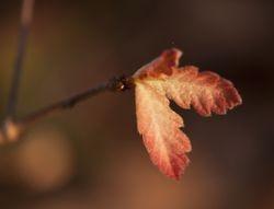 Emerging white oak leaves