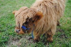 Moshi, Mini Scottish Highlander