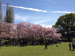 The Cherry Trees at Cornwall Park