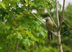 Green Woodpecker   (Pic vert)