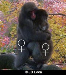 adult female-female mounting (ventro-ventral posture, Arashiyama)