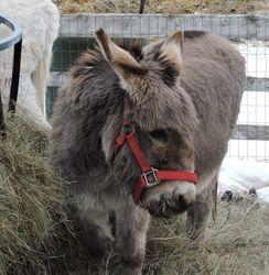 Goliath donkey