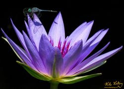 Dragonfly on Purple Waterlily