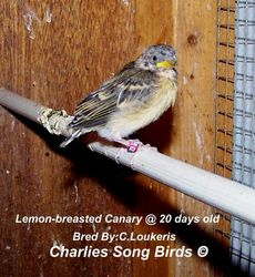 Lemon-breasted canary baby