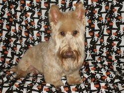 Blonde Scottish Terrier