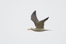 Lesser Black-backed Gull  (GOELAND BRUN)