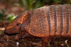 Tatu peludo - Tatu peba ( Euphractus sexcinctus )