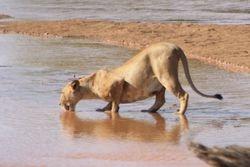 Lion Drinking from River -Samburu Game Reserve