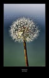 Dandelion*