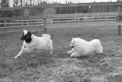 Did you know that the american eskimo was used for herding? Koda took to it with ease, dont worry, I only put him on the goat for about 10 seconds at a time, besides, I thik Lucy actually liked it, lol  Verisitile, intelligent, obedient