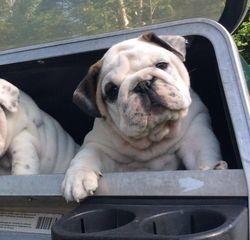 Baby puppy in cart
