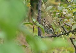 Song Thrush   (Grive musicienne)