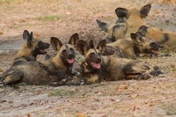 Wild dogs a pack of 14 at Xakanaka Moremi