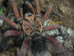 """Pamphobeteus. sp. """"South Equador"""""""