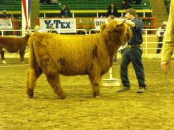 LEA Gytha in the Show ring