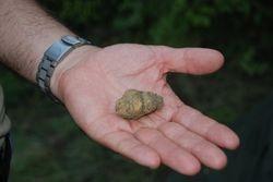 White truffle from Macedonia (Tuber magnatum)