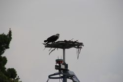 Osprey on 30,000 Islands cruise