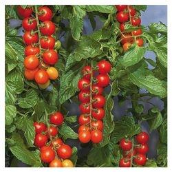 Tomaccio Tomatoes