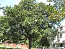 Our burr oak.