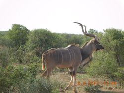 A regal Kudu