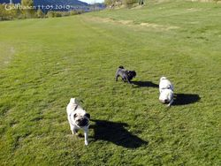 3 lovely and happy pugs